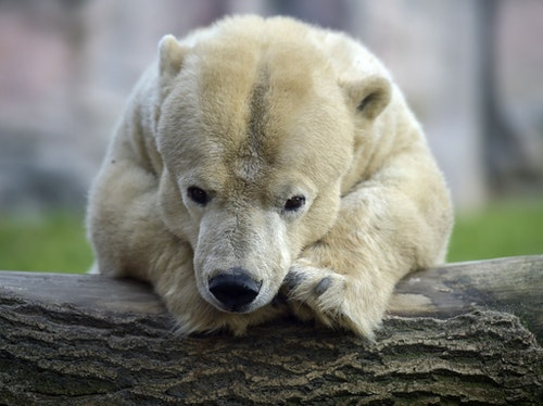Little handicapped female polar bear Antonia rests on a trunk on a cold day at the zoo in Gelsenkirchen, Germany, Tuesday, Jan. 6, 2015. The oldest bear in the zoo is 25 years old, but due to her dwarfism, it measures only 1.35 meters compared to 2.20 meter of her fellows.