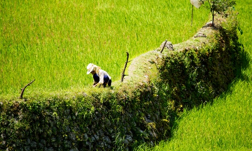 Rice terraces in the Philippines. Rice cultivation in the North of the Philippines, Batad, Banaue. Farmer planting rice.